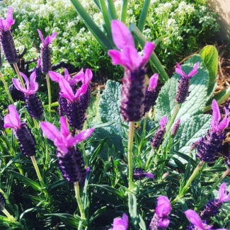 French lavender in my kitchen garden